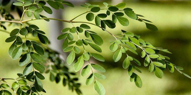 Descubra los efectos curativos del milagroso Árbol de la Vida